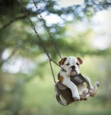 cute bulldog